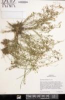 Petrorhagia saxifraga image