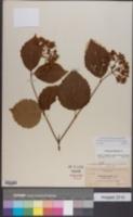 Viburnum dentatum var. dentatum image
