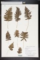 Image of Polypodium cambricum