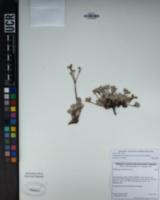 Eriogonum umbellatum var. minus image