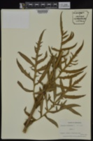 Silphium laciniatum image