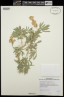 Lupinus longifolius image