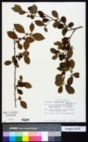 Image of Casearia aculeata