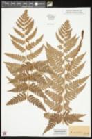 Asplenium cristatum image