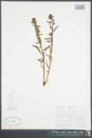 Image of Pedicularis flavida