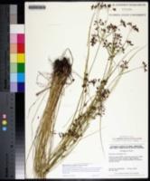 Rhynchospora scirpoides image