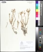 Sarcocornia utahensis image