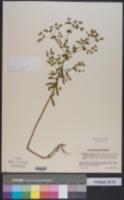 Image of Euphorbia serrulata
