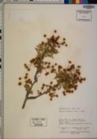 Berberis fremontii image
