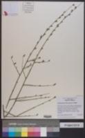 Stephanomeria diegensis image