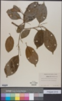 Image of Alchorneopsis portoricensis