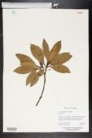 Persea borbonia image