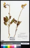 Chylismia brevipes image