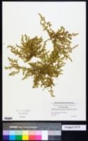 Herniaria glabra image