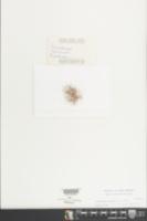 Image of Drosanthemum speciosum