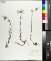 Phlox pilosa subsp. deamii image