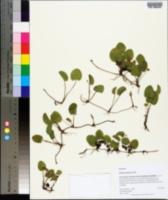 Centella asiatica image