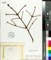 Image of Picea koraiensis