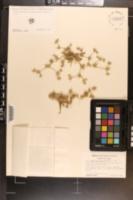 Image of Eryngium depressum