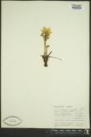 Pulsatilla occidentalis image