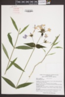Image of Phlox carolina