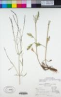 Image of Verbena officinalis