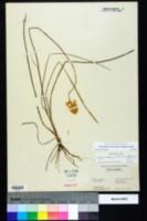 Stenanthium densum image