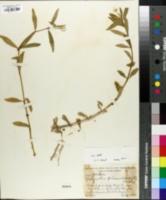 Achyranthes philoxeroides image