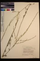 Descurainia californica image
