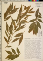 Agonis flexuosa image
