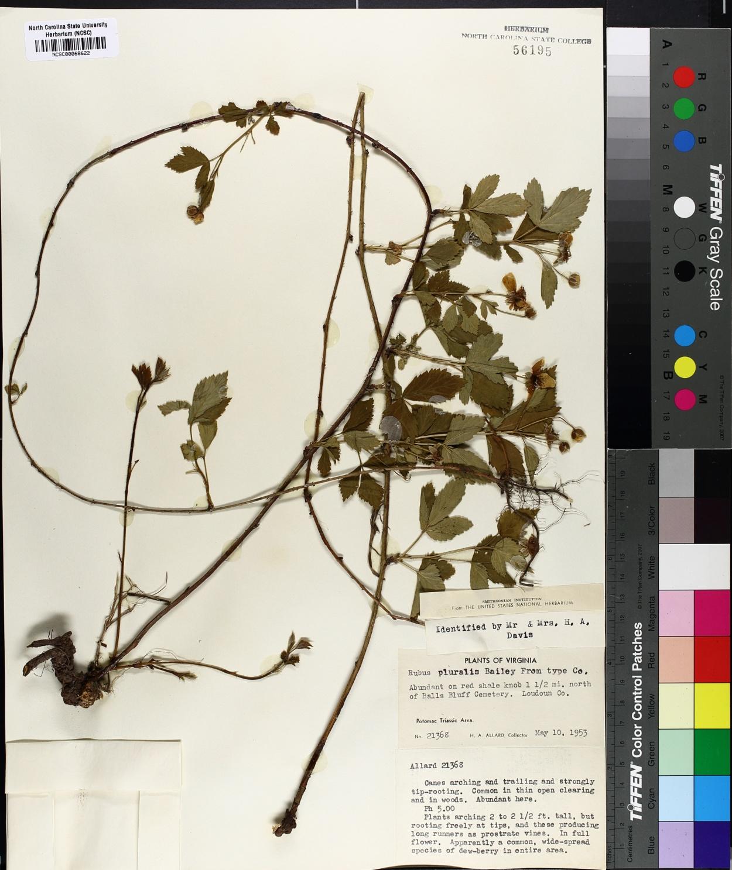 Rubus pluralis image