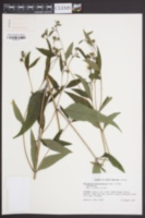 Helianthus microcephalus image