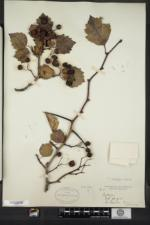 Crataegus chadsfordiana image