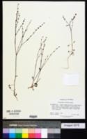 Image of Eriogonum luteolum