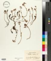 Sedum album image