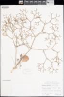 Image of Eriogonum austrinum