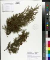 Image of Juniperus phoenicea