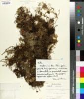 Image of Elaphoglossum obovatum
