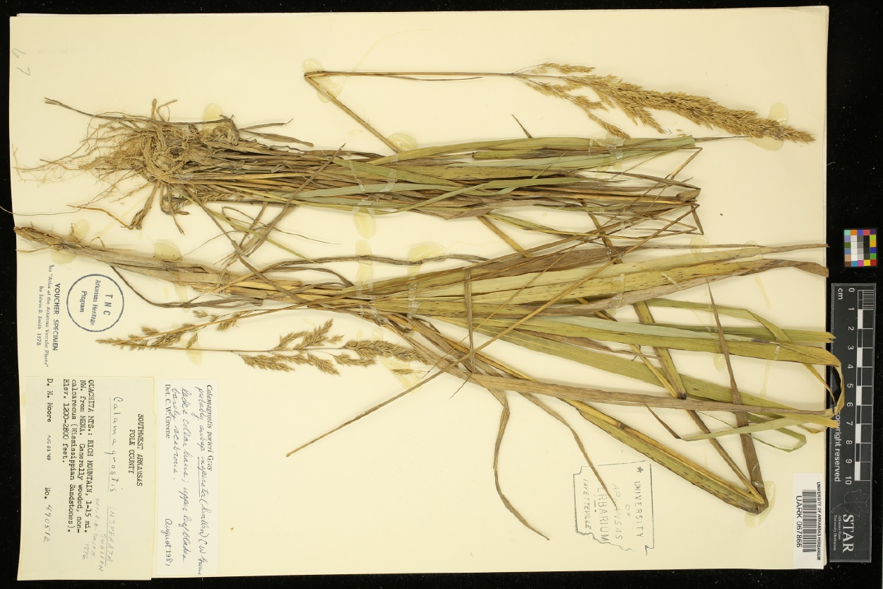 Calamagrostis insperata image