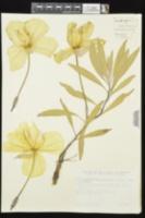 Oenothera macrocarpa subsp. macrocarpa image