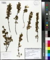 Image of Chamaecytisus ruthenicus