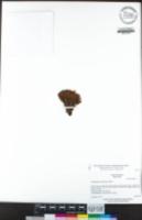 Aphyllon tuberosum image