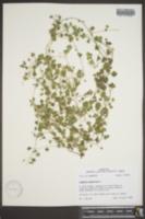 Veronica hederifolia image