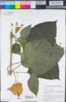 Ruellia bourgaei image