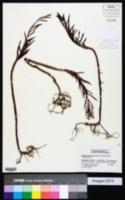 Kalanchoe delagoensis image