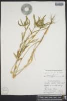 Euphorbia deltoidea image