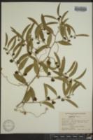 Smilax laurifolia image
