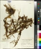 Acicarpha tribuloides image