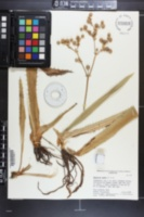 Eryngium serra image