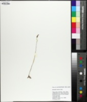 Spiranthes tuberosa image